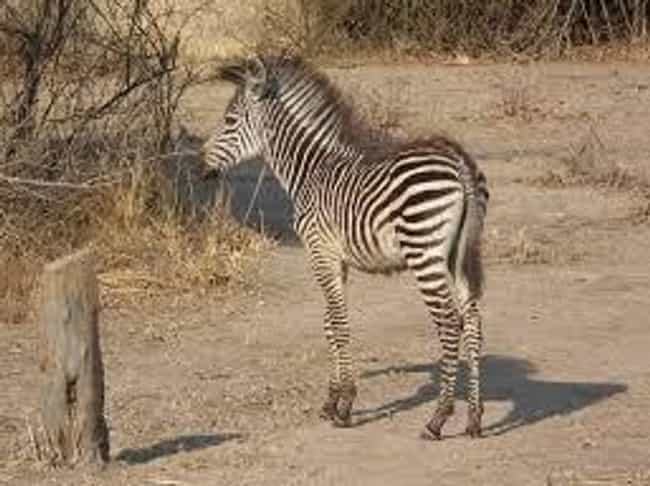 Zebra Foals Walk Within Minute... is listed (or ranked) 3 on the list Crazy Facts About The Plains Zebra - The Bad Boy Of The Horse World