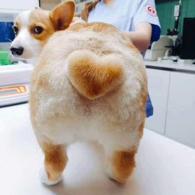 Corgi Butt With A Heart On It is listed (or ranked) 3 on the list Cute Lil' Animal Butts You've Never Even Seen