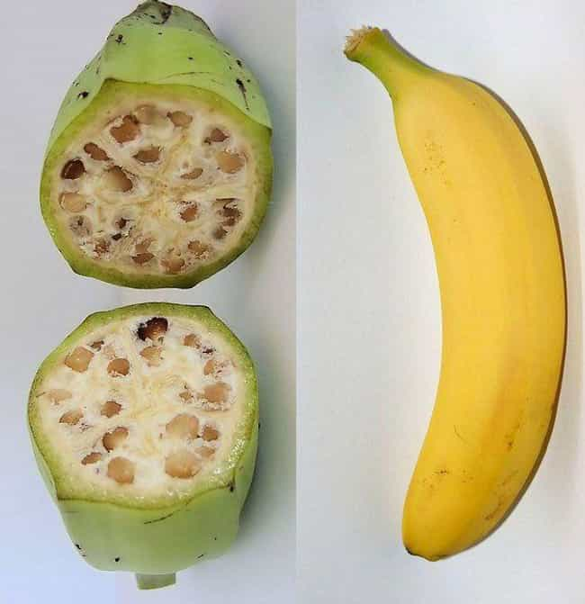 Bananas Had Large, Hard ... is listed (or ranked) 4 on the list 17 Pics Of Common Fruits As You Know Them Compared To Their Undomesticated Forms