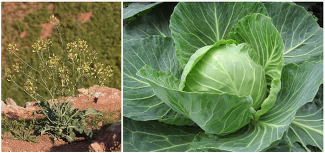 Today's Cabbage Is Extra Leafy is listed (or ranked) 3 on the list 17 Pics Of Common Fruits As You Know Them Compared To Their Undomesticated Forms