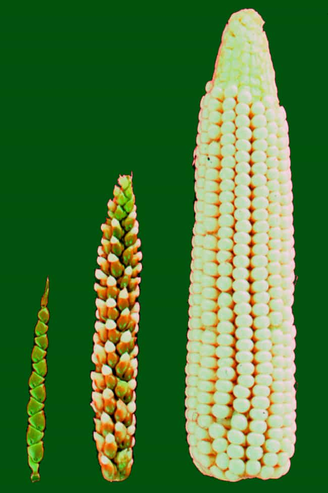 The First Corn Was Barely Edib... is listed (or ranked) 2 on the list 17 Pics Of Common Fruits As You Know Them Compared To Their Undomesticated Forms