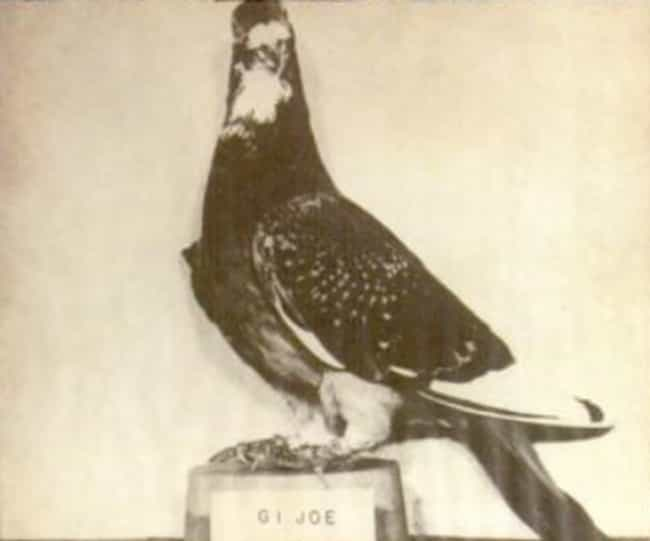 G.I. Joe Saved The Lives Of 1,... is listed (or ranked) 3 on the list 13 Heroic Military Animals You Had No Idea Existed