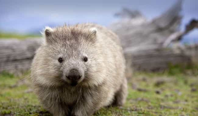 Wombat is listed (or ranked) 3 on the list 21 Animals That Are So Ugly They're Actually Super Adorable