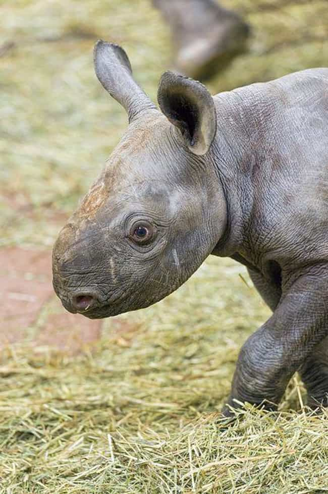 Baby Rhino is listed (or ranked) 2 on the list 21 Animals That Are So Ugly They're Actually Super Adorable