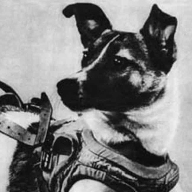 Laika, The Orbiter is listed (or ranked) 1 on the list Unknowingly Heroic Animals Who Explored The Final Frontier During The Space Race