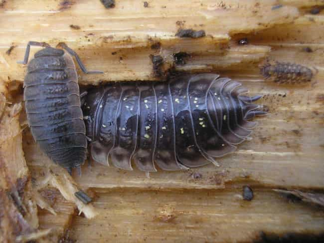 In The Roly Poly World, The Ol... is listed (or ranked) 3 on the list 10 Bizarre Facts Most People Don't Know About Pill Bugs