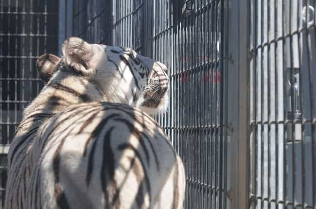 Captivity Can Make Anima... is listed (or ranked) 2 on the list 10 Facts About Exotic Animals In Captivity You Might Just Wish You Didn't Know