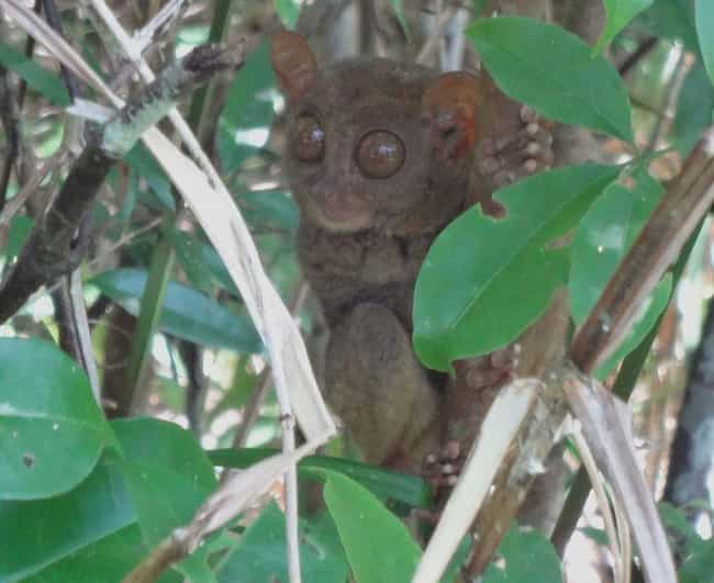 Pygmy Tarsier is listed (or ranked) 2 on the list Extinct Species That Came Back From The Dead