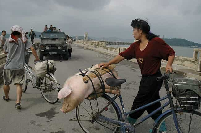 Carrying A Pig On The Dam Of T... is listed (or ranked) 1 on the list Pictures Of Rural Life In North Korea