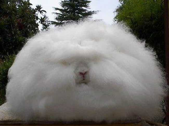 An Angora Rabbit Or Oversized ... is listed (or ranked) 2 on the list Just 14 Animals With Insanely Amazing Hair