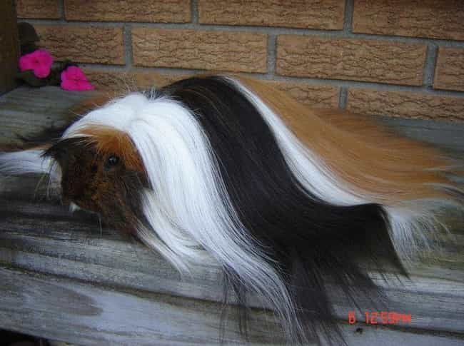 Long-Haired Guinea Pigs Must T... is listed (or ranked) 3 on the list Just 14 Animals With Insanely Amazing Hair