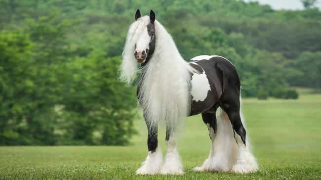 Gypsy Vanner Horses Have Truly... is listed (or ranked) 4 on the list Just 14 Animals With Insanely Amazing Hair