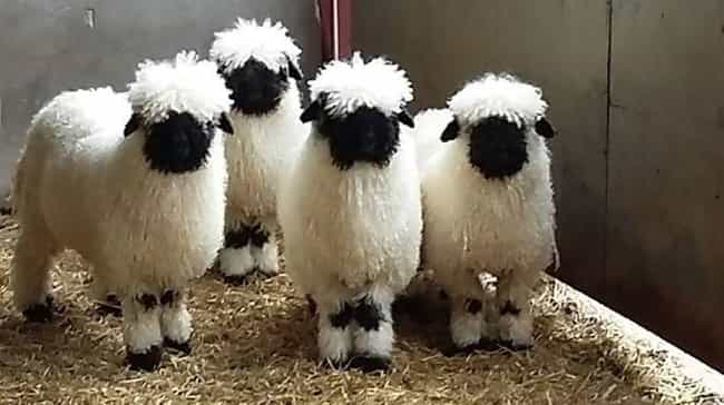 Valais Blacknose Sheep Have Pe... is listed (or ranked) 1 on the list Just 14 Animals With Insanely Amazing Hair
