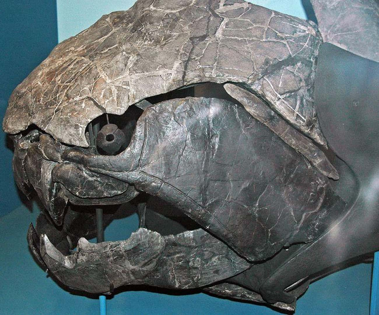 Dunkleosteus, An Armored Death is listed (or ranked) 1 on the list The Most Horrifying Sea Monsters To Ever Terrorize The Ocean