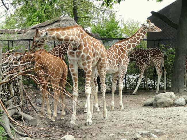Some Zoos Kill Animals T... is listed (or ranked) 1 on the list All The Ways Zoos Psychologically Break Animals