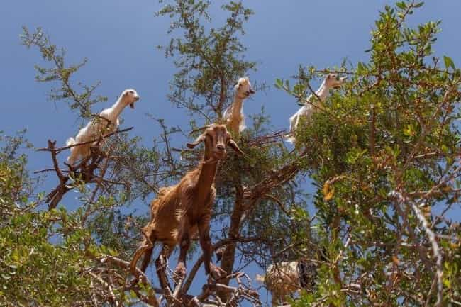 Better Not Mess With The... is listed (or ranked) 3 on the list Just 14 Pictures Of Goats In Trees That'll Make Your Day Better