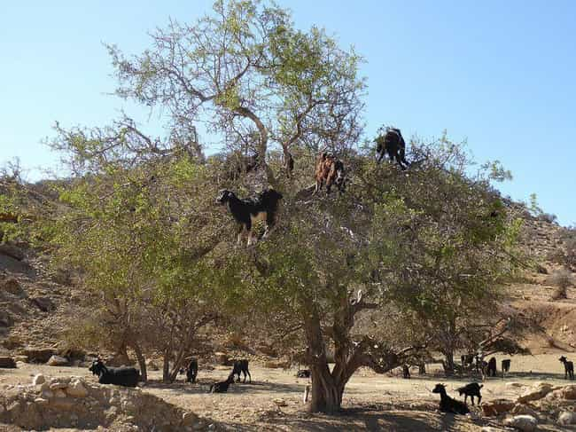 Casual Tree Life is listed (or ranked) 4 on the list Just 14 Pictures Of Goats In Trees That'll Make Your Day Better