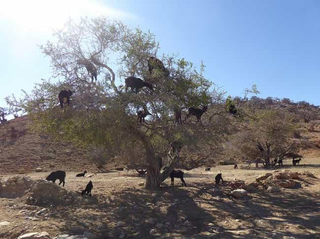Tree Full Of Goats On A ... is listed (or ranked) 2 on the list Just 14 Pictures Of Goats In Trees That'll Make Your Day Better