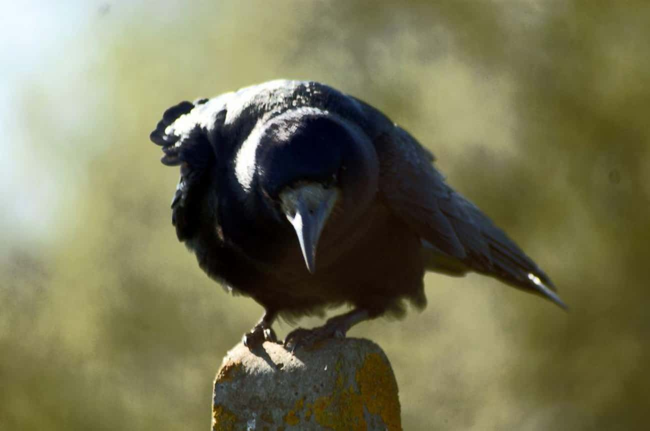 Crows Know How To Hate, But Th is listed (or ranked) 3 on the list Crows Do Not Forget And Definitely Don't Forgive - Welcome To Crow Court