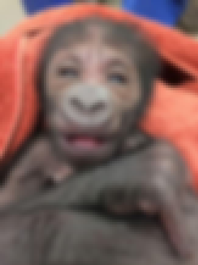 Western Lowland Gorillas Are N... is listed (or ranked) 3 on the list Philadelphia Zoo Welcomes Precious Angel Newborn Endangered Gorilla Baby OMG