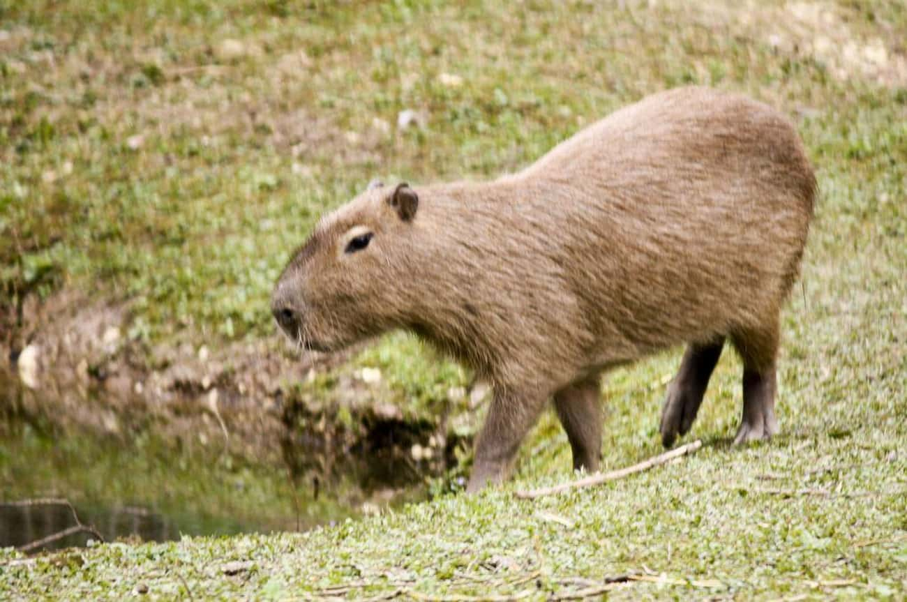 Capybaras Get To The Size Of A is listed (or ranked) 2 on the list Magical Facts About the Life of the Capybara