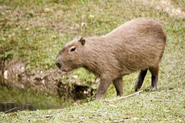 Capybaras Get To The Siz... is listed (or ranked) 2 on the list Magical Facts About the Life of the Capybara