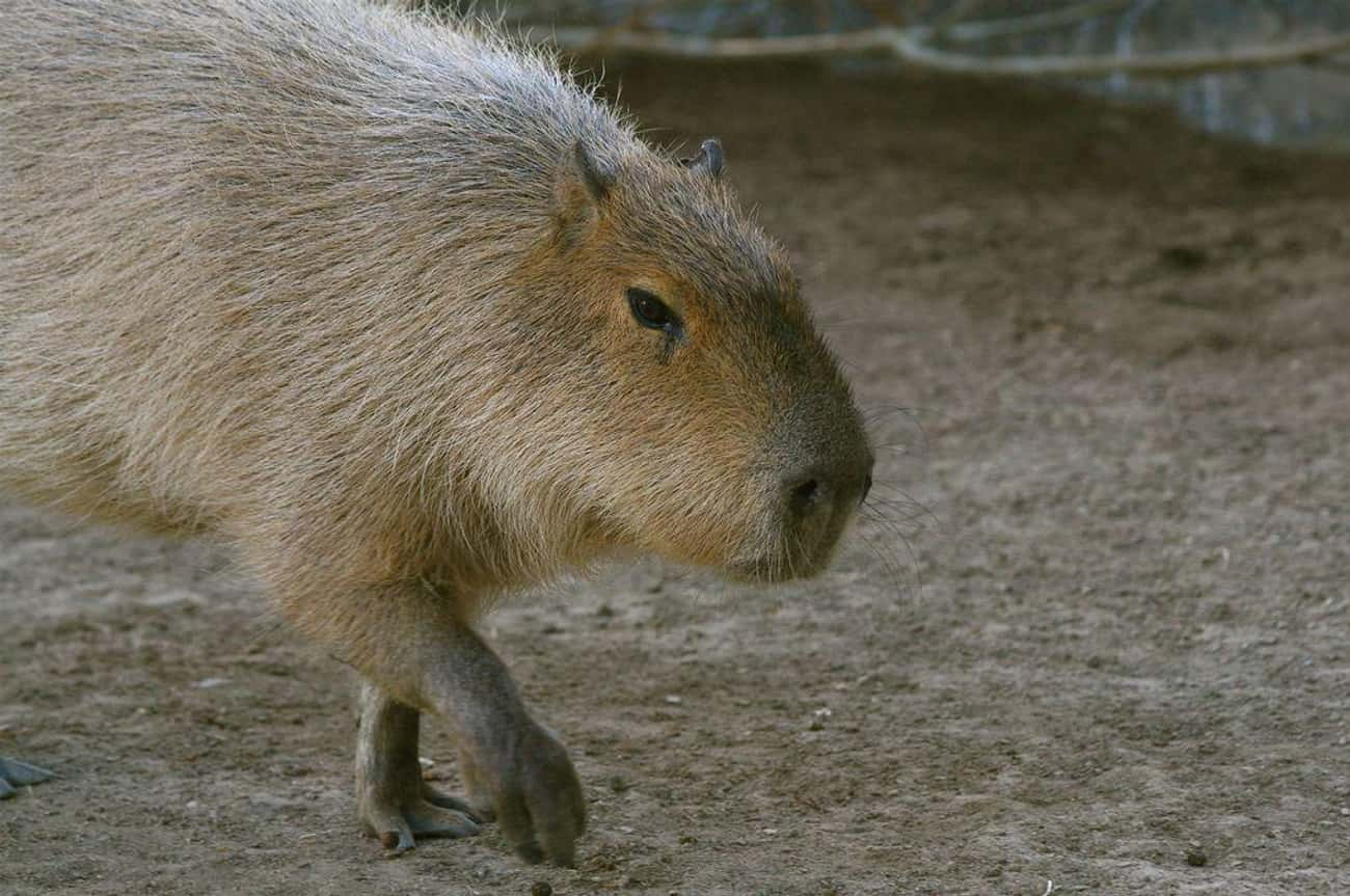 Capybaras Are Most Commonly Ac is listed (or ranked) 3 on the list Magical Facts About the Life of the Capybara