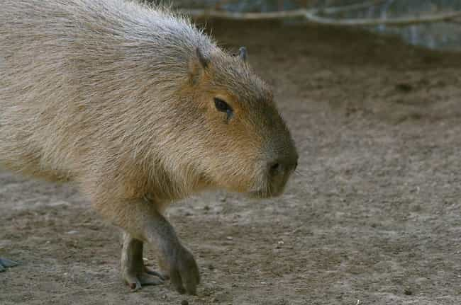 Capybaras Are Most Commo... is listed (or ranked) 3 on the list Magical Facts About the Life of the Capybara