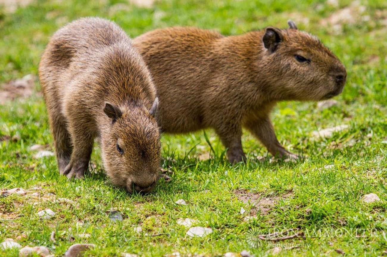 Baby Capybaras Can't Swim is listed (or ranked) 1 on the list Magical Facts About the Life of the Capybara