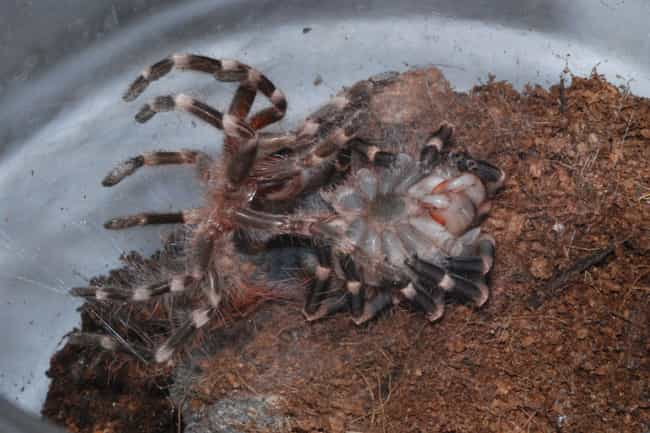 The Molting Process Is S... is listed (or ranked) 2 on the list 11 Things Most People Don't Know About Tarantulas