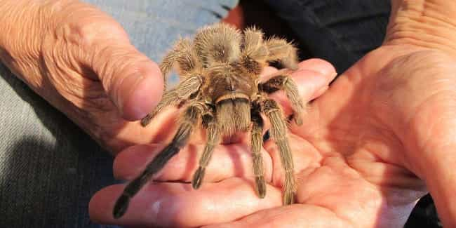 Tarantulas Are Almost Ne... is listed (or ranked) 3 on the list 11 Things Most People Don't Know About Tarantulas