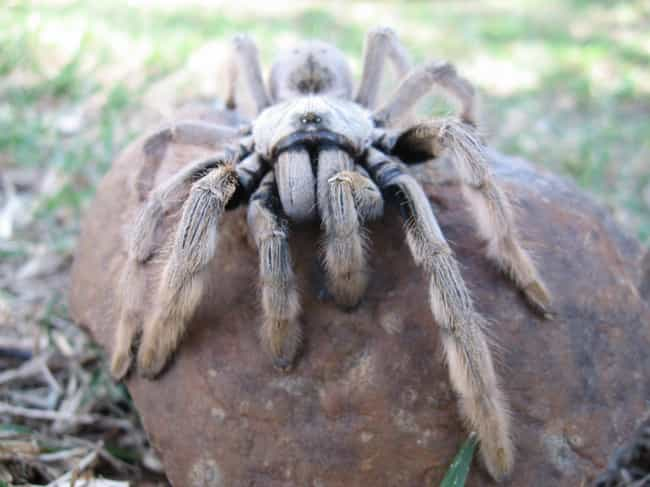 They Can Live For Up To ... is listed (or ranked) 4 on the list 11 Things Most People Don't Know About Tarantulas