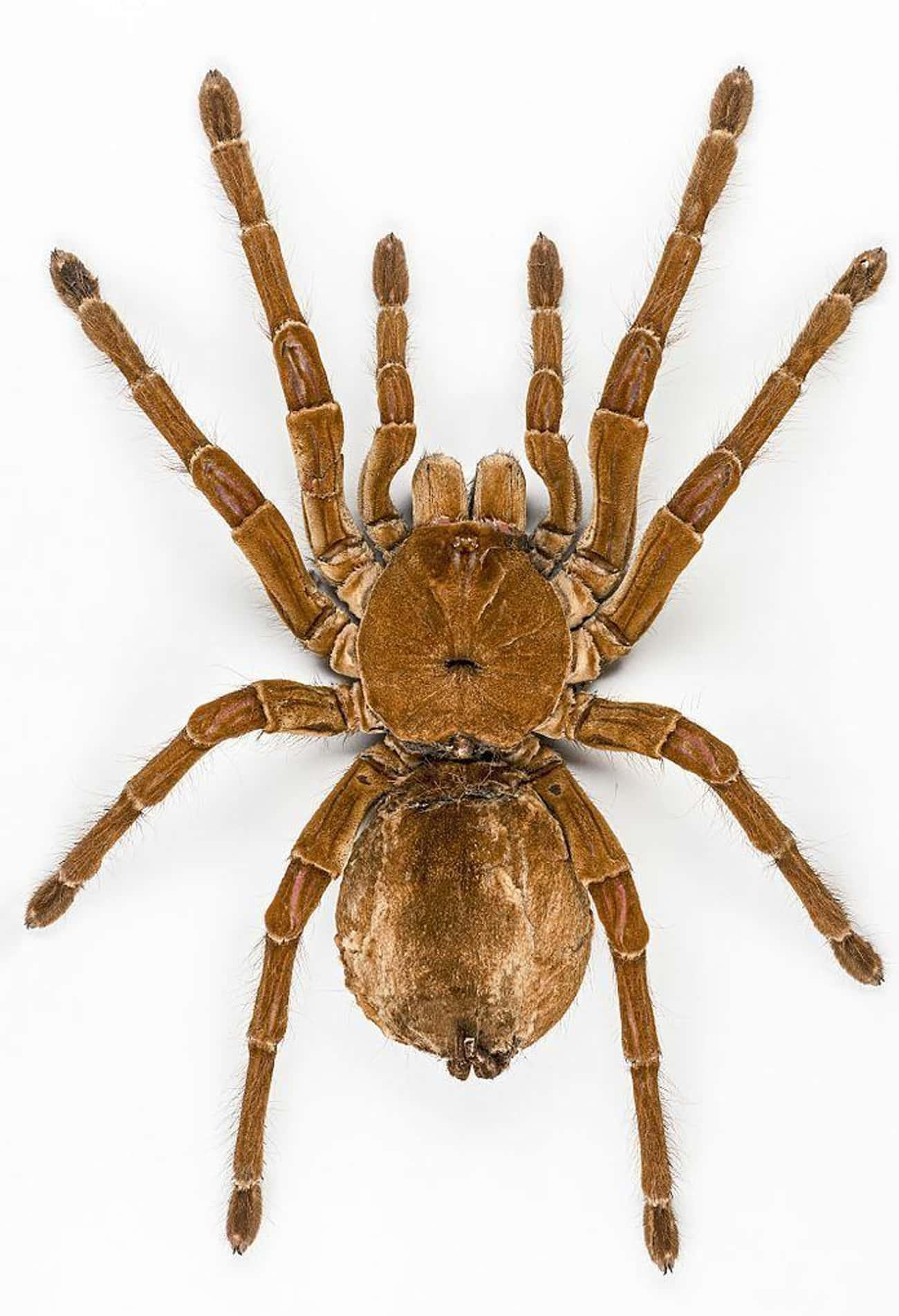 It's The Most Massive Spid is listed (or ranked) 1 on the list 12 Facts About The Goliath Birdeater, An Unexpectedly Gentle Giant