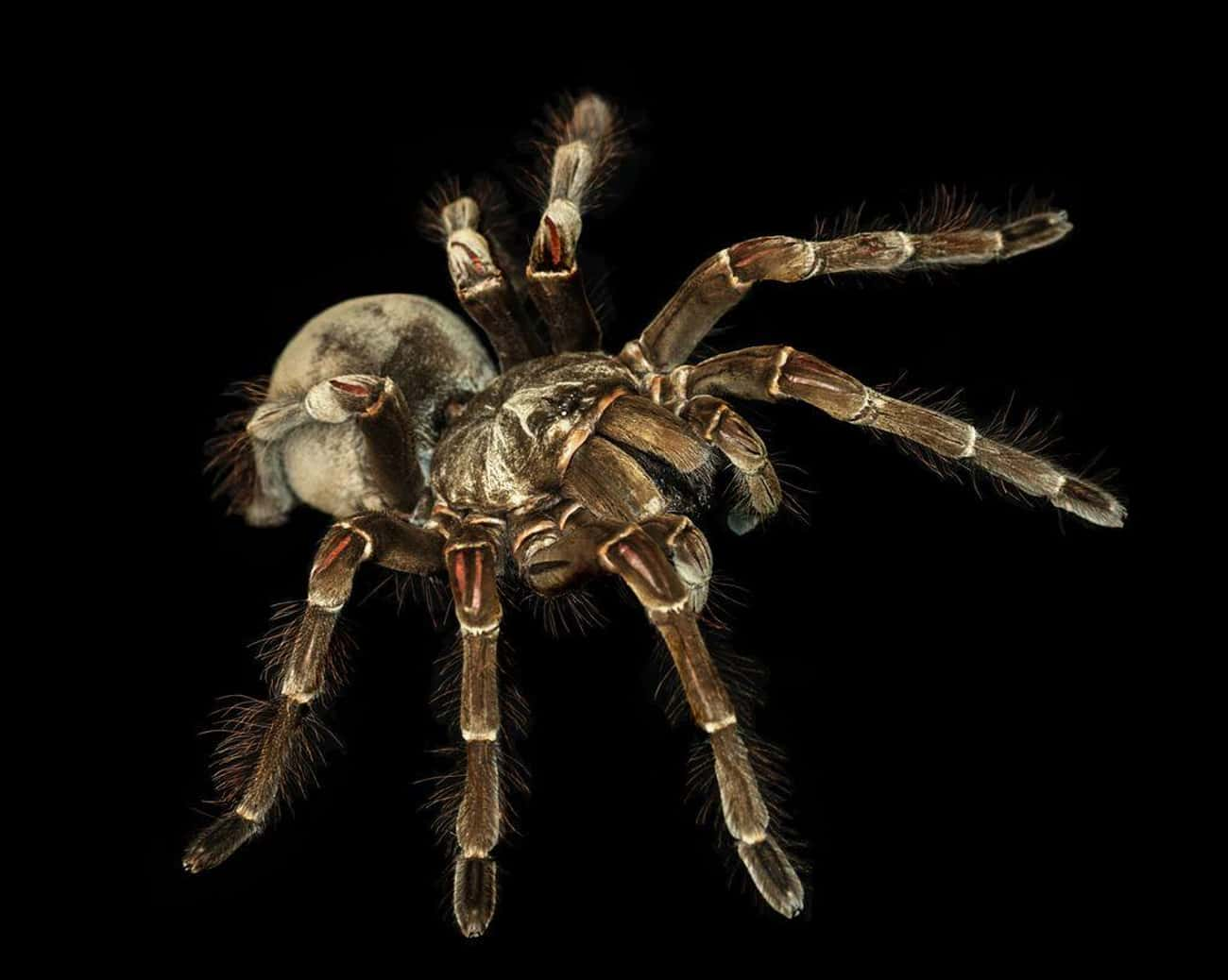 They Can Regenerate Lost Limbs is listed (or ranked) 2 on the list 12 Facts About The Goliath Birdeater, An Unexpectedly Gentle Giant