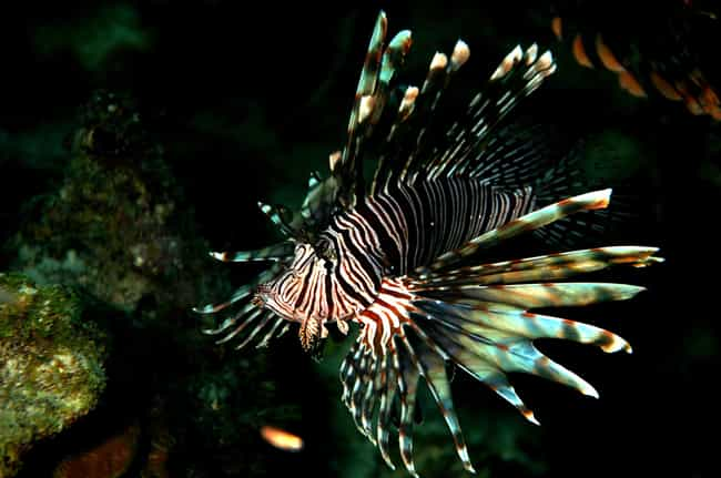 Cannibalistic Lionfish is listed (or ranked) 2 on the list 13 Animals That Are Wreaking Havoc In Florida Right Now