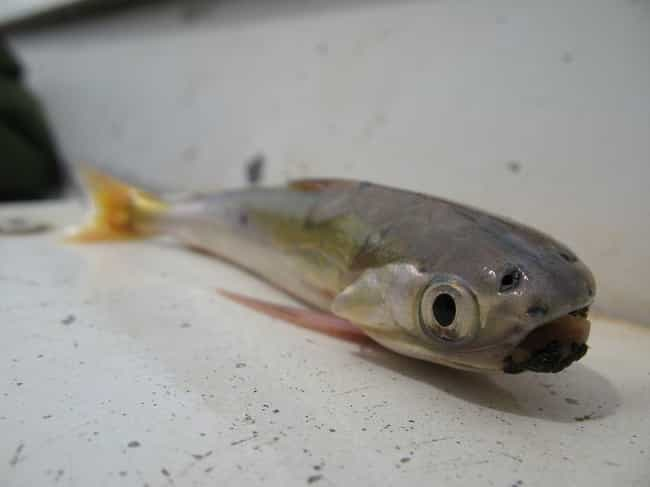 Candiru is listed (or ranked) 2 on the list These Vampires Of The Animal Kingdom Are Way More Terrifying Than Dracula