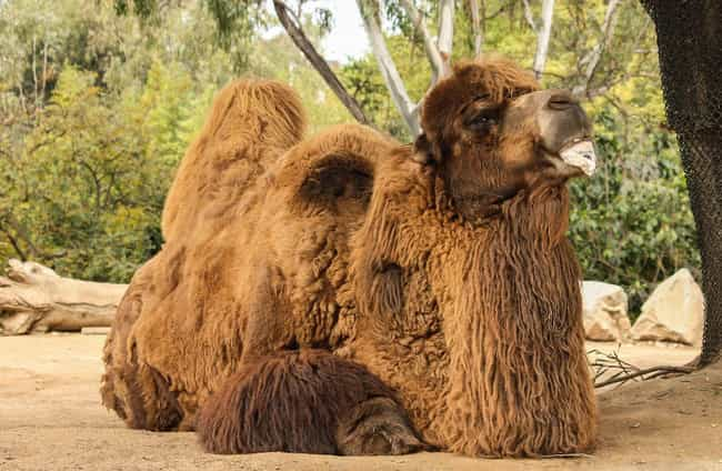 The Camels Were Original... is listed (or ranked) 4 on the list Camels Once Roamed The American Southwest - And One Inspired A Terrifying Arizona Legend