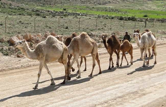 The Red Ghost Terrorized... is listed (or ranked) 1 on the list Camels Once Roamed The American Southwest - And One Inspired A Terrifying Arizona Legend
