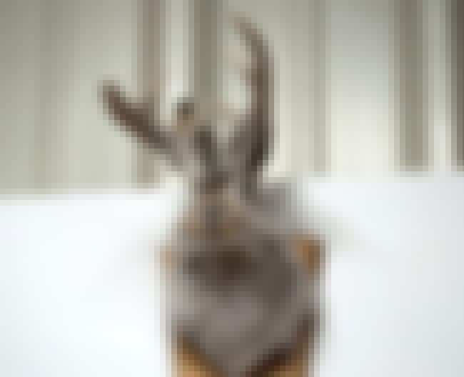 Jackalopes Are A Truly America... is listed (or ranked) 1 on the list 12 Animals That Were Actually Hoaxes