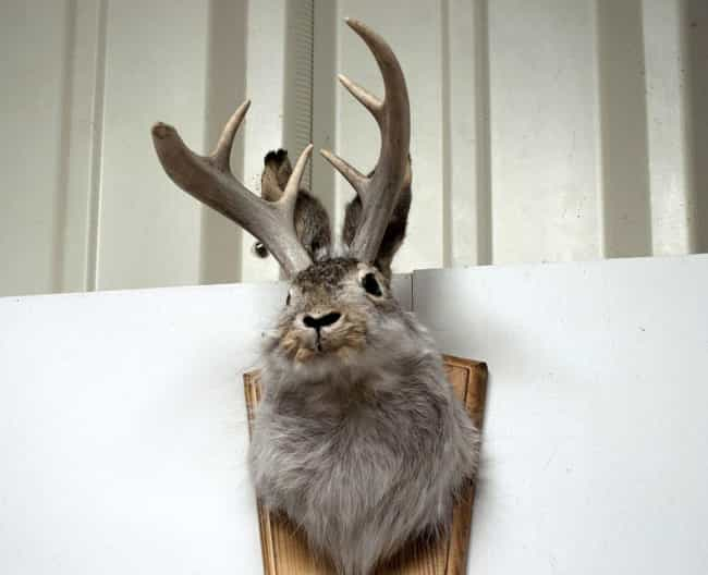 Jackalopes Are A Truly A... is listed (or ranked) 1 on the list 12 Animals That Were Actually Hoaxes
