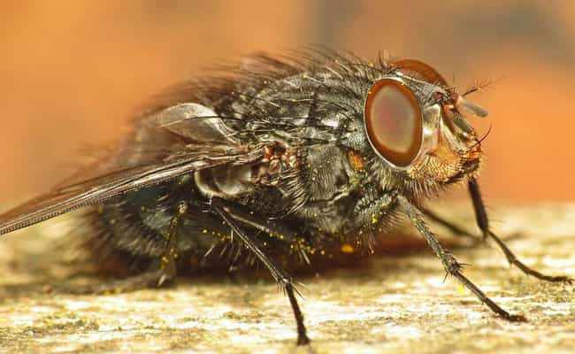 Flies Are Attracted To Y... is listed (or ranked) 3 on the list All The Organisms That Eat Up Your Corpse, From Just After Death To The Very End