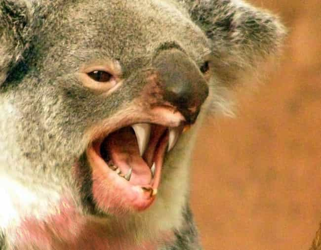 Australian Drop Bears Ar... is listed (or ranked) 3 on the list 12 Animals That Were Actually Hoaxes