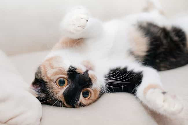 A Cat Showing You Their Belly ... is listed (or ranked) 3 on the list Animal Behaviors We Think Are Cute But Actually Signal Danger