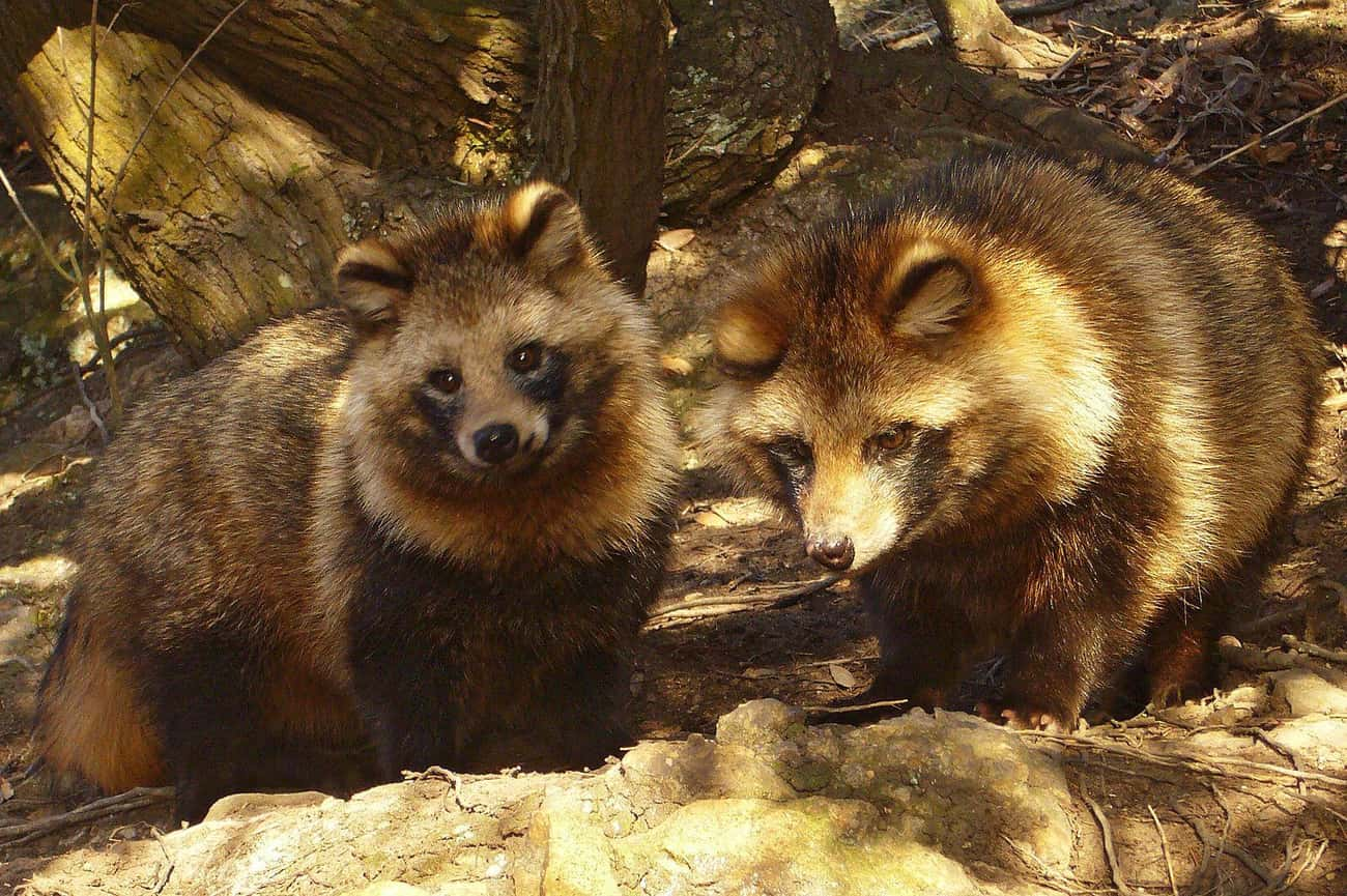 They Are Famed Tricksters In J is listed (or ranked) 3 on the list 13 Bizarre Things Most People Don't Know About The Raccoon Dog
