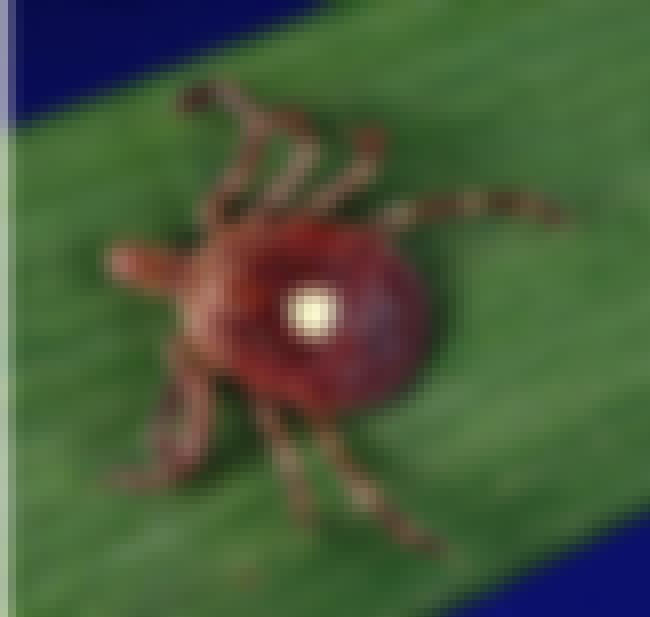 This Tick's Bite Can Make You ... is listed (or ranked) 1 on the list This Bug Can Make You Allergic To The Only Thing You've Truly Loved - Bacon