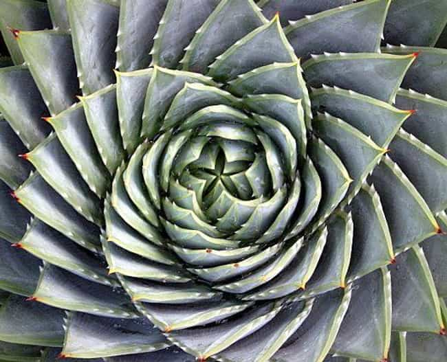 Aloe Polyphylla Forms Dizzying... is listed (or ranked) 1 on the list Rare, Psychedelic-Looking Succulents That Will Take Your Breath Away