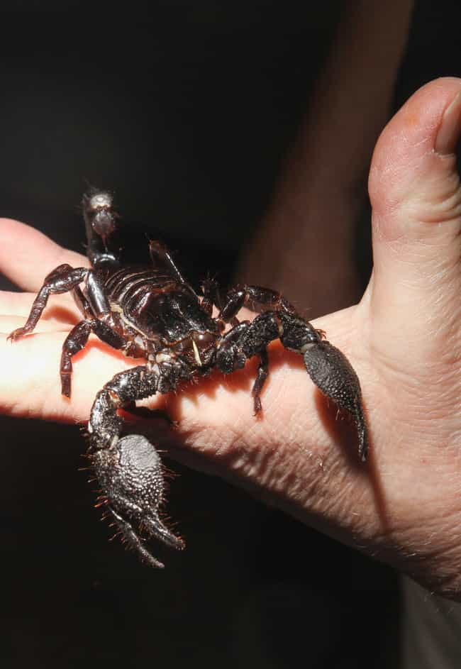 Things You Never Knew About The Emperor Scorpion, The Largest Scorpion On  Earth