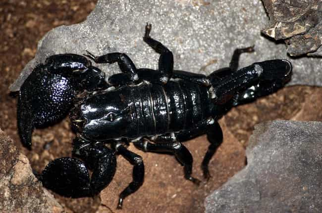 Their Venom Might Be Use... is listed (or ranked) 3 on the list Things You Never Knew About The Emperor Scorpion, The Largest Scorpion On Earth