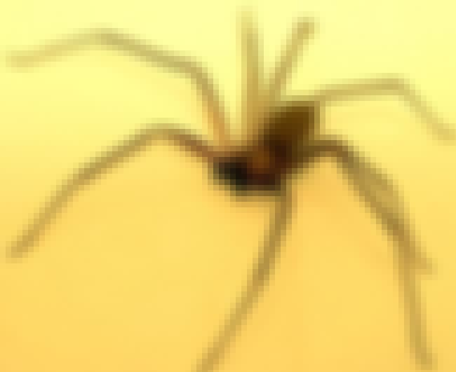 Some Say You Can Identify Them... is listed (or ranked) 2 on the list Things Most People Don't Know About Brown Recluse Spiders