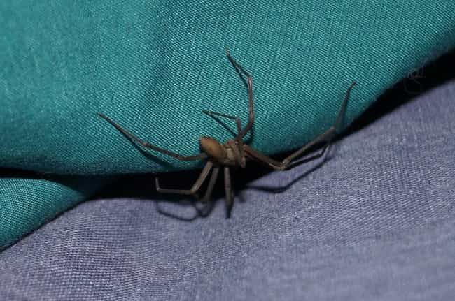 Brown Recluse Spiders Ac... is listed (or ranked) 3 on the list Things Most People Don't Know About Brown Recluse Spiders